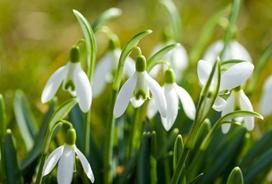 Przebiśniegi (śnieżyczka) w ogrodzie - sadzenie, pielęgnacja, uprawa, wymagania