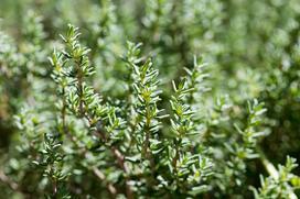Tymianek (Macierzanka tymianek) - uprawa, właściwości, odmiany, zastosowanie