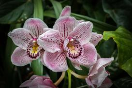 Orchidea w ogrodzie – odmiany, sadzenie, hodowanie, pielęgnacja i podlewanie storczyków