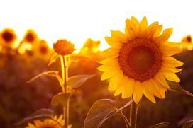 Słonecznik – wysiew, uprawa w ogrodzie, pielęgnacja