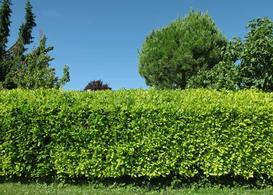 Z czego żywopłot? Popularne krzewy i rośliny żywopłotowe