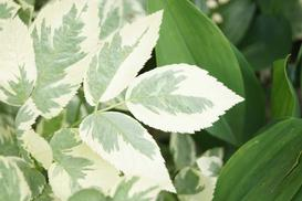 Komarzyca - roślina odstraszająca komary! Uprawa, pielęgnacja, zimowanie i inne ciekawostki