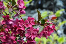 Rajska jabłoń – uprawa, pielęgnacja, popularne odmiany pięknego krzewu