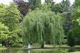 Wierzba biała w ogrodzie - sadzenie, uprawa, pielęgnacja, porady