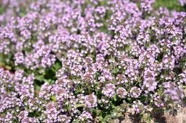 Macierzanka piaskowa - sadzenie, uprawa, pielęgnacja, zastosowanie w leczeniu