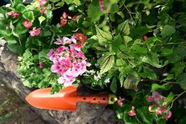 Rozmnażanie pelargonii krok po kroku - jak rozsadzić pelargonie?