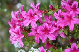Azalia ogrodowa - wymagania, stanowisko, uprawa, pielęgnacja, porady