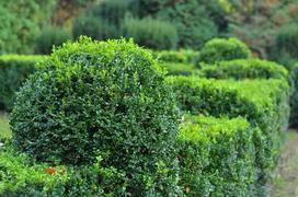 Bukszpan wieczniezielony - sadzenie, uprawa, pielęgnacja, cięcie
