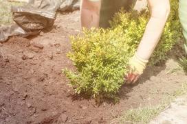 Jaką ziemię i nawóz do bukszpanu wybrać? Porady dla ogrodników i nie tylko