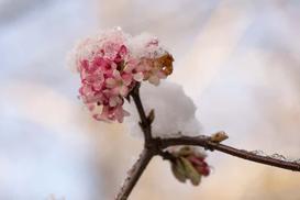Kalina wonna - odmiany, uprawa, cięcie, porady pielęgnacyjne