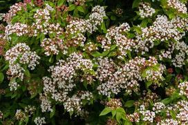 Kalina wawrzynowata - sadzenie, uprawa, pielęgnacja, rozmnażanie, choroby, porady