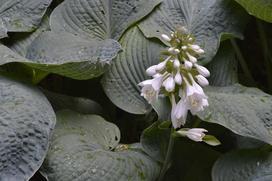 Funkia sina (Siebolda) - sadzenie, rozstawa, uprawa, pielęgnacja