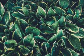 Funkia ogrodowa - wymagania stanowiska, sadzenie, pielęgnacja, uprawa