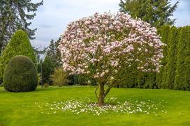 Magnolia Betty - sadzenie, uprawa, pielęgnacja, porady