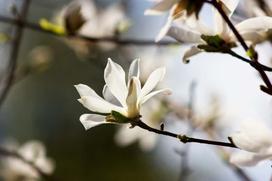 Magnolia japońska (Magnolia kobus) - uprawa, pielęgnacja, wymagania, cena