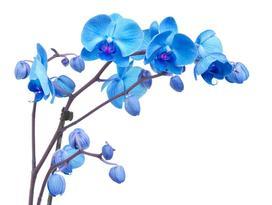 Storczyk niebieski - uprawa, pielęgnacja, cena, gdzie kupić?
