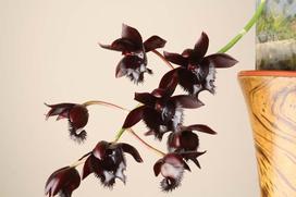 Czarny storczyk - uprawa, pielęgnacja, cena, porady