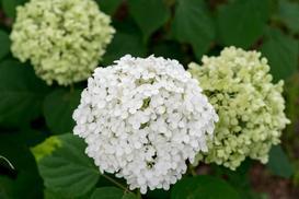 Hortensja 'Annabelle' - sadzenie, uprawa, pielęgnacja, cięcie