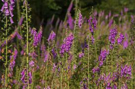 Naparstnica purpurowa - sadzenie, uprawa, odmiany, ceny sadzonek i nasion