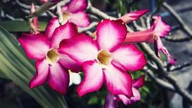 Róża pustyni (adenium obesum) - uprawa i pielęgnacja pięknego kwiatu ogrodowego