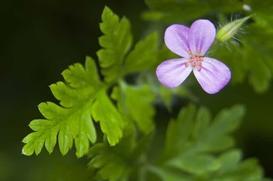 Bodziszek cuchnący - zastosowanie ziela, działanie, cena