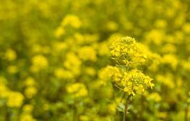 Gorczyca polna - zwalczanie popularnego chwastu w ogrodzie