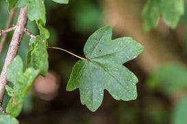 Klon polny (Acer campestre) - odmiany, sadzenie, uprawa, pielęgnacja, zastosowanie na żywopłot