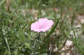 Kąkol polny - sprawdzone sposoby na zwalczanie tego chwastu