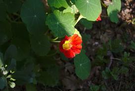 Nasturcja niska w ogrodzie - sadzenie z nasion, uprawa, pielęgnacja, stanowisko