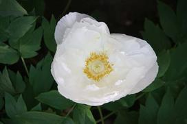 Piwonia biała - uprawa, pielęgnacja i zastosowanie lecznicze korzenia białej piwonii
