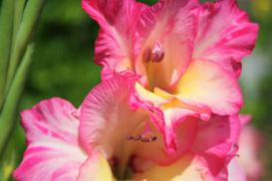 Gladiole - sadzenie, uprawa, pielęgnacja, choroby, porady