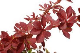 Berberys Thunberga - sadzenie, uprawa, pielęgnacja, rozmnażanie