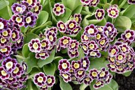 Pierwiosnek łyszczak (primula auricula) - sadzenie, uprawa, pielęgnacja, porady