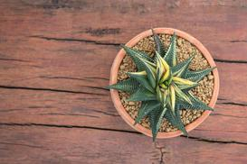 Haworthia limifolia - uprawa, pielęgnacja, podlewanie, porady