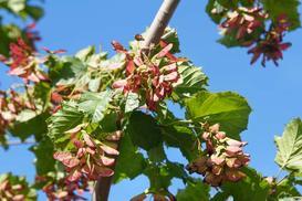 Klon ginnala - sadzenie, uprawa, pielęgnacja, ceny sadzonek