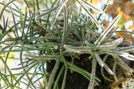 Patyczak w doniczce (Rhipsalis cereuscula) - uprawa, pielęgnacja, podlewanie