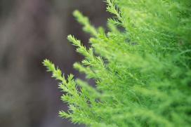 Cyprys wielkoszyszkowy (goldcrest) - uprawa, pielęgnacja, porady