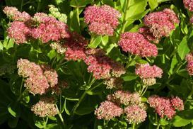 Rozchodnik matrona (sedum spectabile matrona) - odmiany, uprawa, pielęgnacja, porady