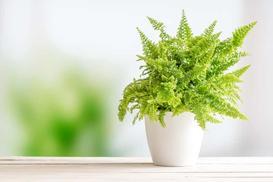 Nefrolepis - popularna paproć na domowych parapetach - uprawa, pielęgnacja, porady
