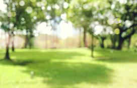 Wiśnia osobliwa (umbraculifera) - odmiany, opinie, uprawa, pielęgnacja