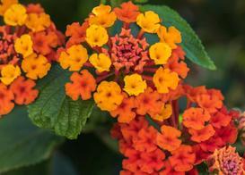 Lantana – odmiany, uprawa, pielęgnacja, rozmnażanie, sadzonki