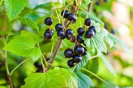 Czarna porzeczka - sadzenie, uprawa, pielęgnacja, właściwości lecznicze, witaminy