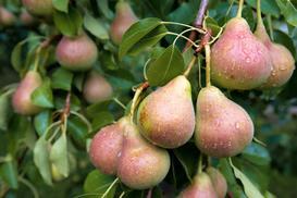 Grusza w ogrodzie – odmiany, uprawa, pielęgnacja, choroby, porady