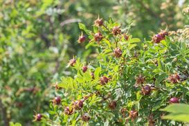 Dzika róża w ogrodzie - sadzenie, uprawa, właściwości