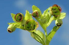 Ciemiernik cuchnący - sadzenie, uprawa, pielęgnacja i ceny śmierdzącego kwiatu doniczkowego