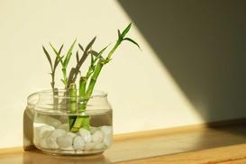 Dracena Sandera (Lucky Bamboo) - odmiany, uprawa, pielęgnacja, przesadzanie, rozmnażanie, cena