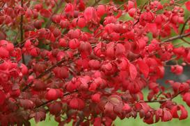 Trzmielina oskrzydlona (płonący krzew) - odmiany, sadzenie, uprawa, pielęgnacja, wymagania