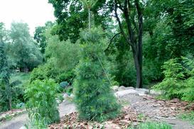 Sosna wejmutka (Pinus strobus) - opis, wymagania, odmiany, uprawa, pielęgnacja