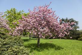 Japońska wiśnia ozdobna – opis, sadzenie, pielęgnacja, uprawa, przycinanie