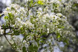 Wiśnia wonna (antypka) – sadzenie, pielęgnacja, uprawa, porady